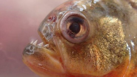 What do piranhas and goldfish have in common?Science Daily -