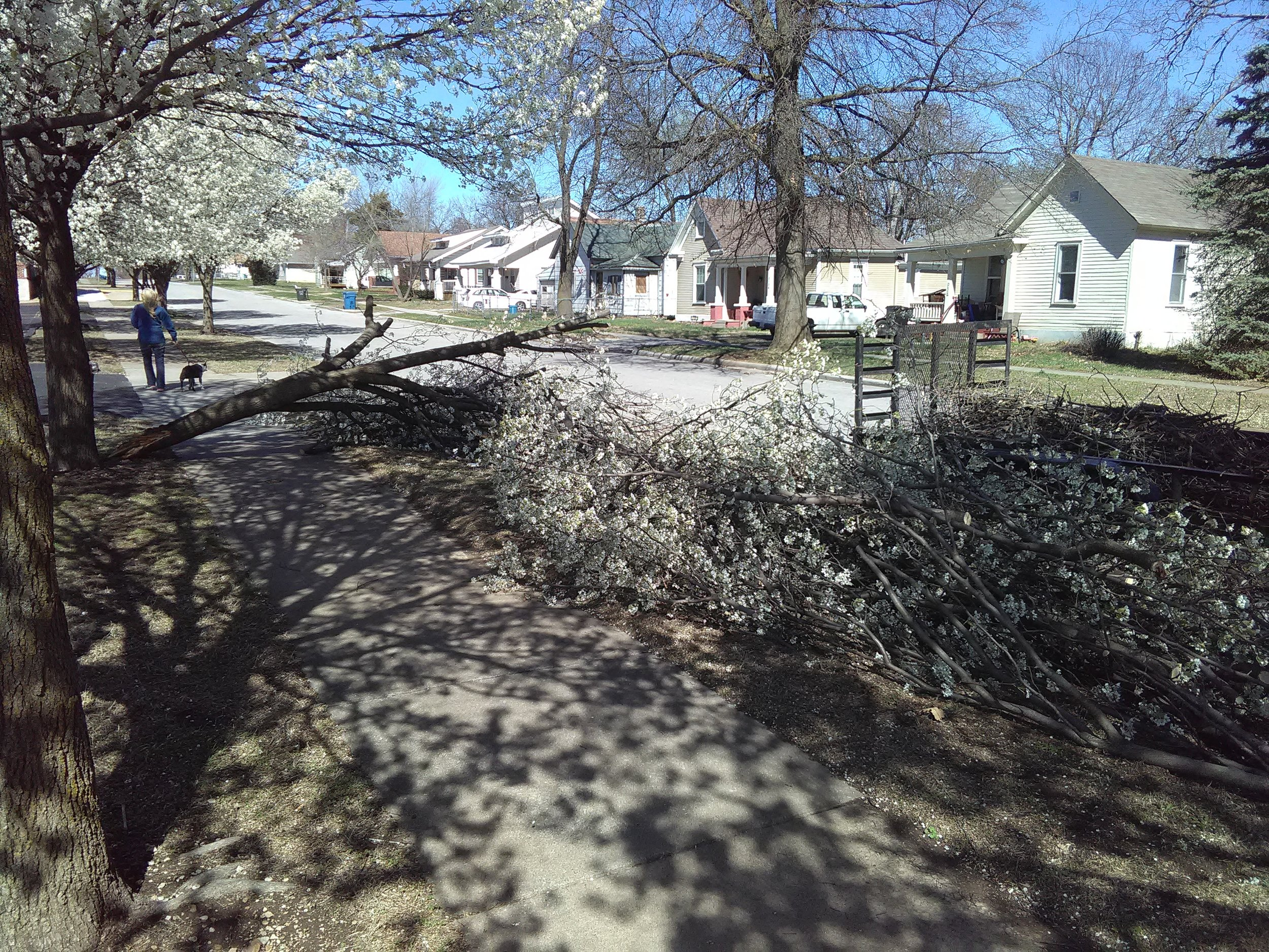Major split off of a bradford pear tree during the spring at high flowering time.