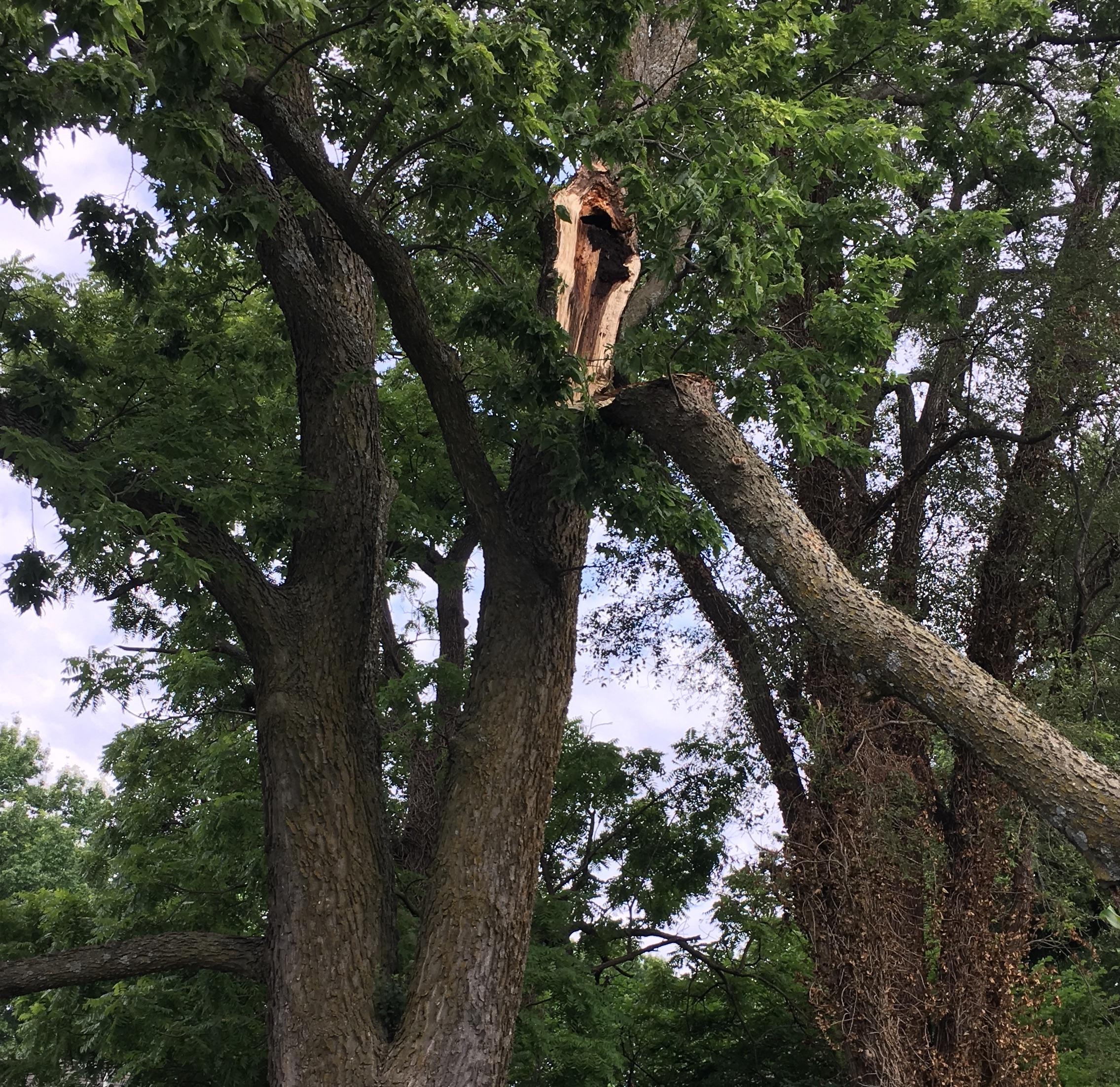 Hole in tree creates weakness