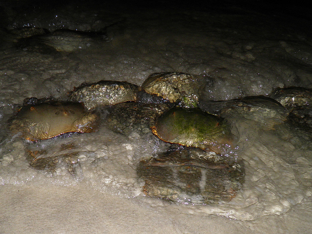 A cluster of male crabs surrounding a female in hopes of mating with her.