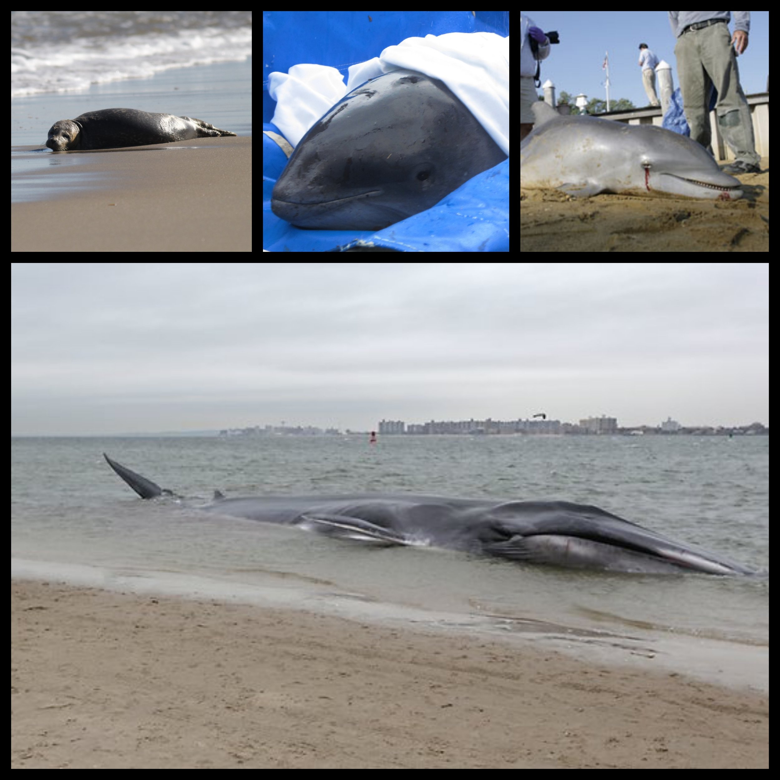 If you discover an injured or sick-looking marine mammal - see below…