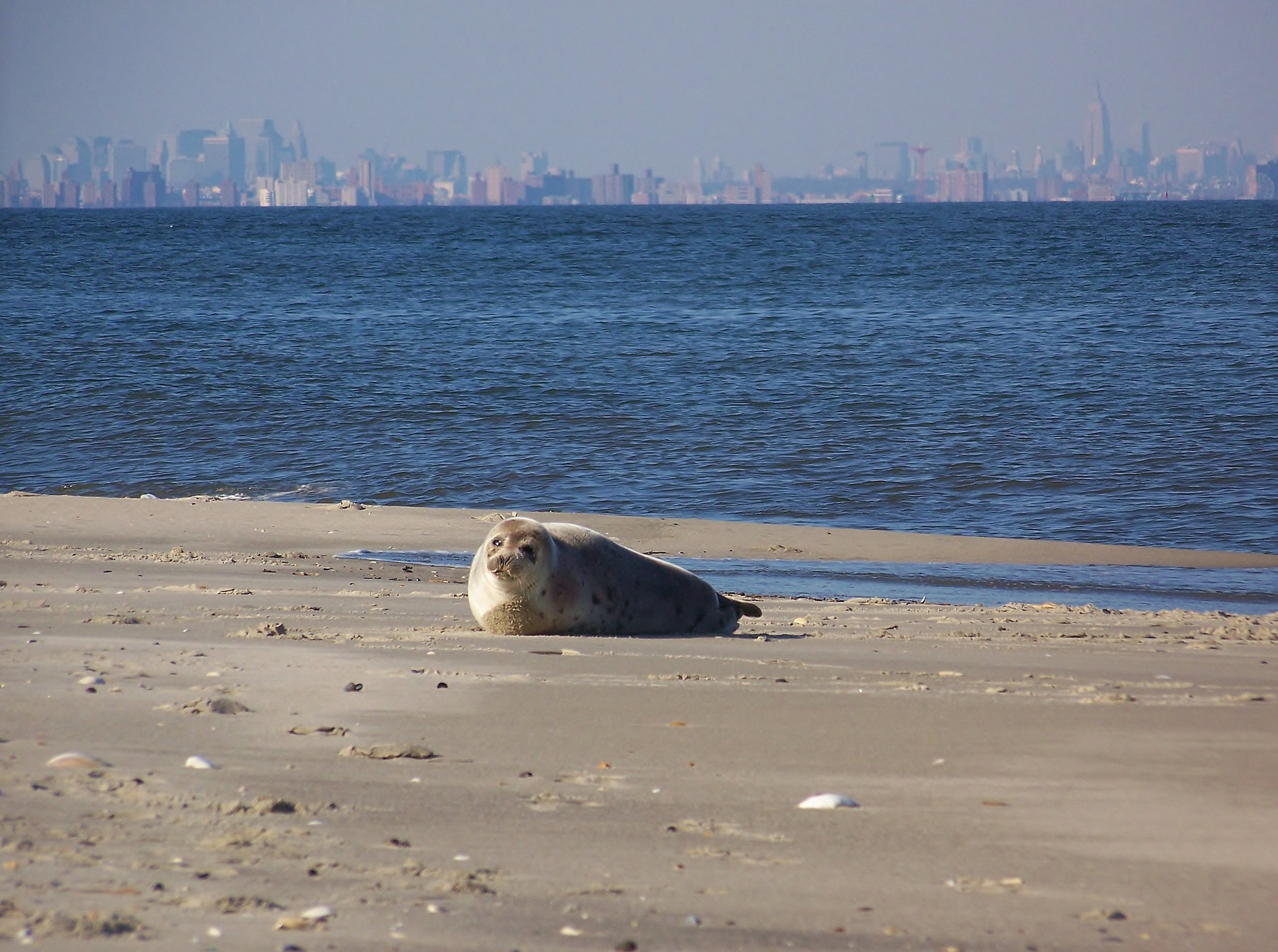 A juvenile harp seal resting on a sandy beach downstream from New York City.