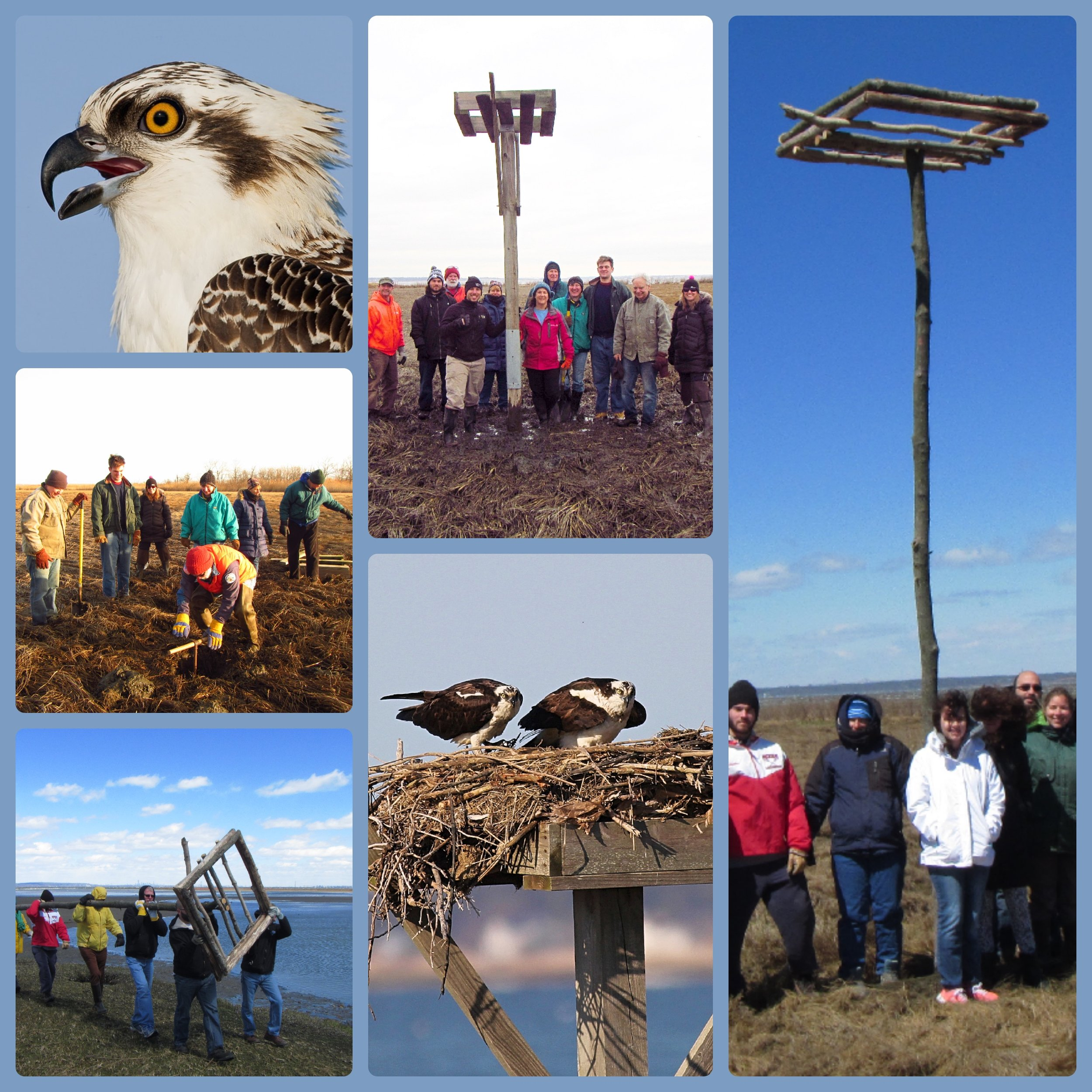 We need your help! - Nesting platforms are critical for increasing the population of ospreys along the coast.