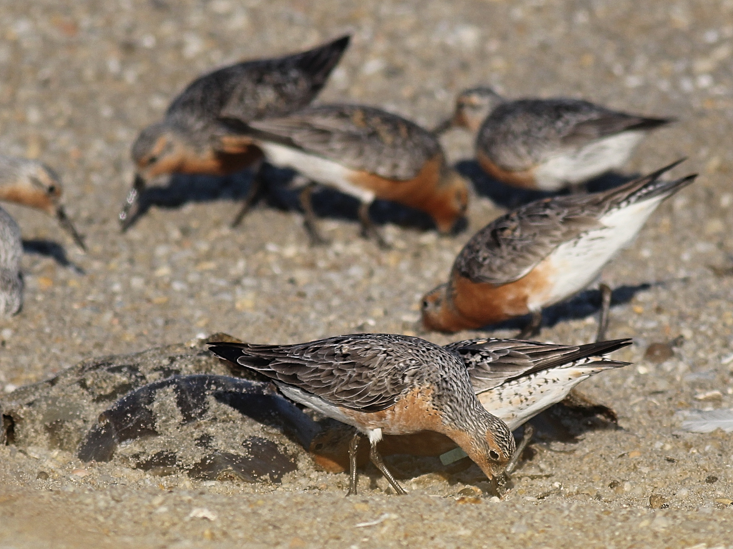 Red Knots foraging on Horseshoe crab eggs along Delaware Bay, NJ.