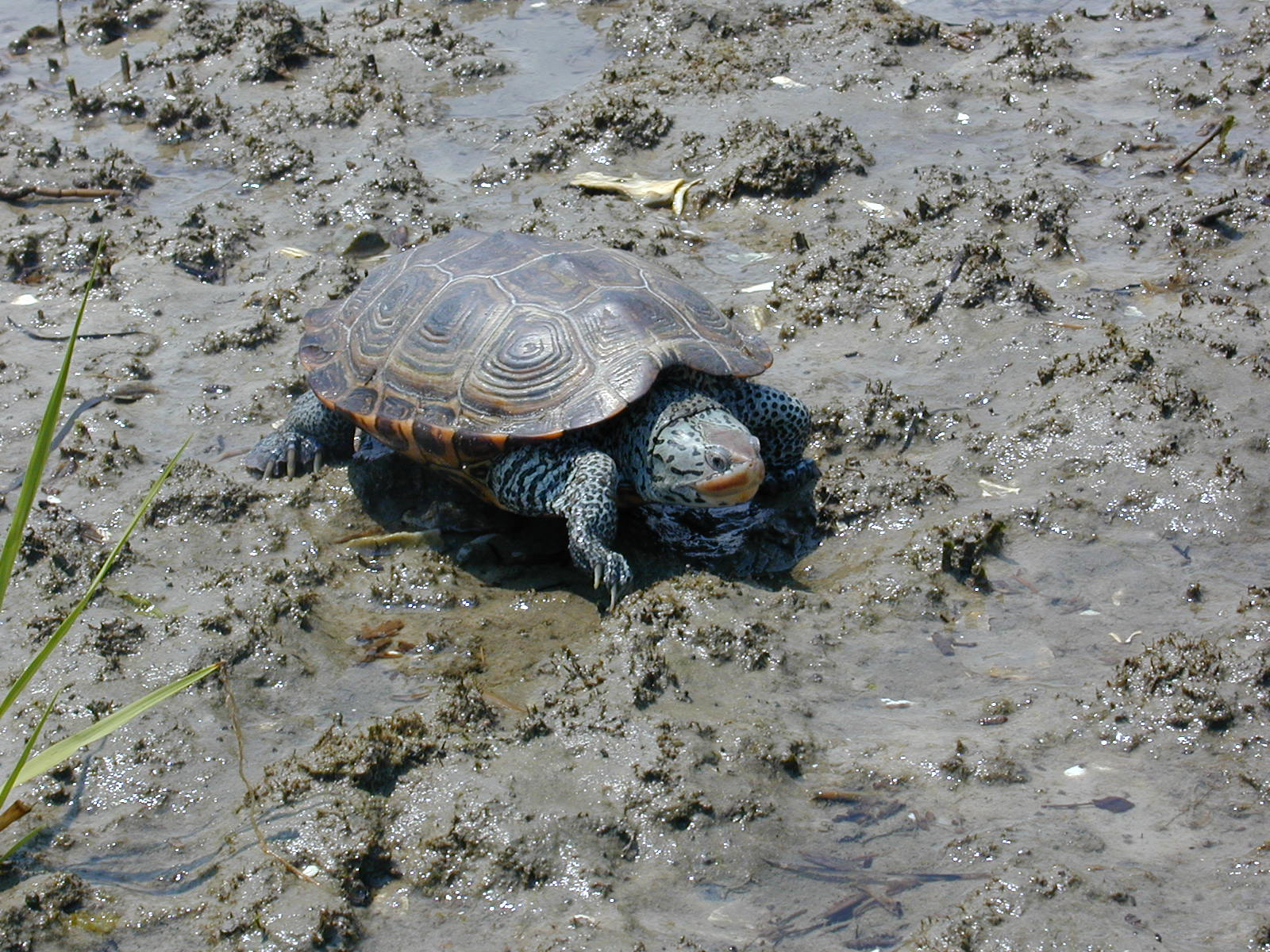 female diamondback_terrapin.jpg