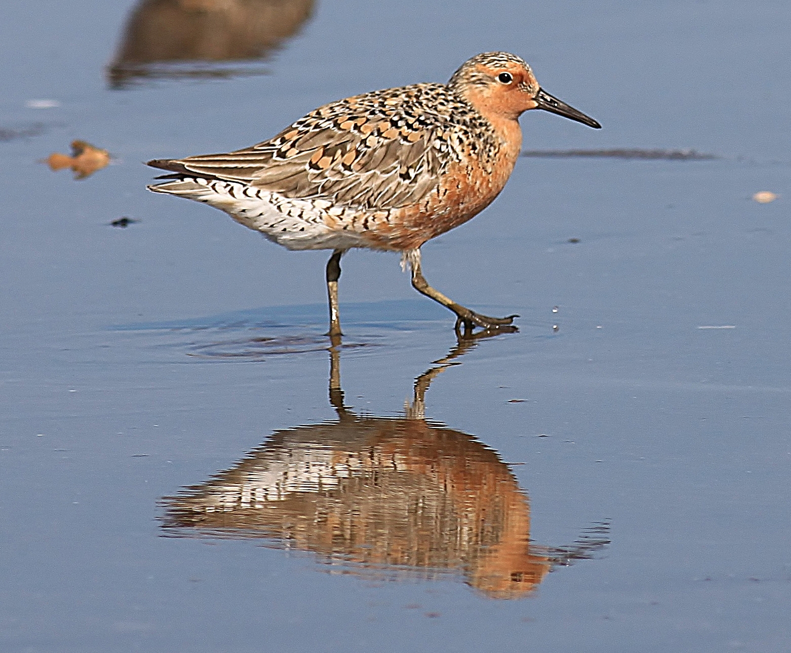 Scientists  released a report  announcing that a decrease of at least 5,000 Red Knots was observed at key wintering grounds in Tierra del Fuego, Chile from the previous year. Scientists reported population counts of wintering knots in other locations declined as well. The estimated current total population for the migratory shorebird is now unlikely to be more than 25,000.