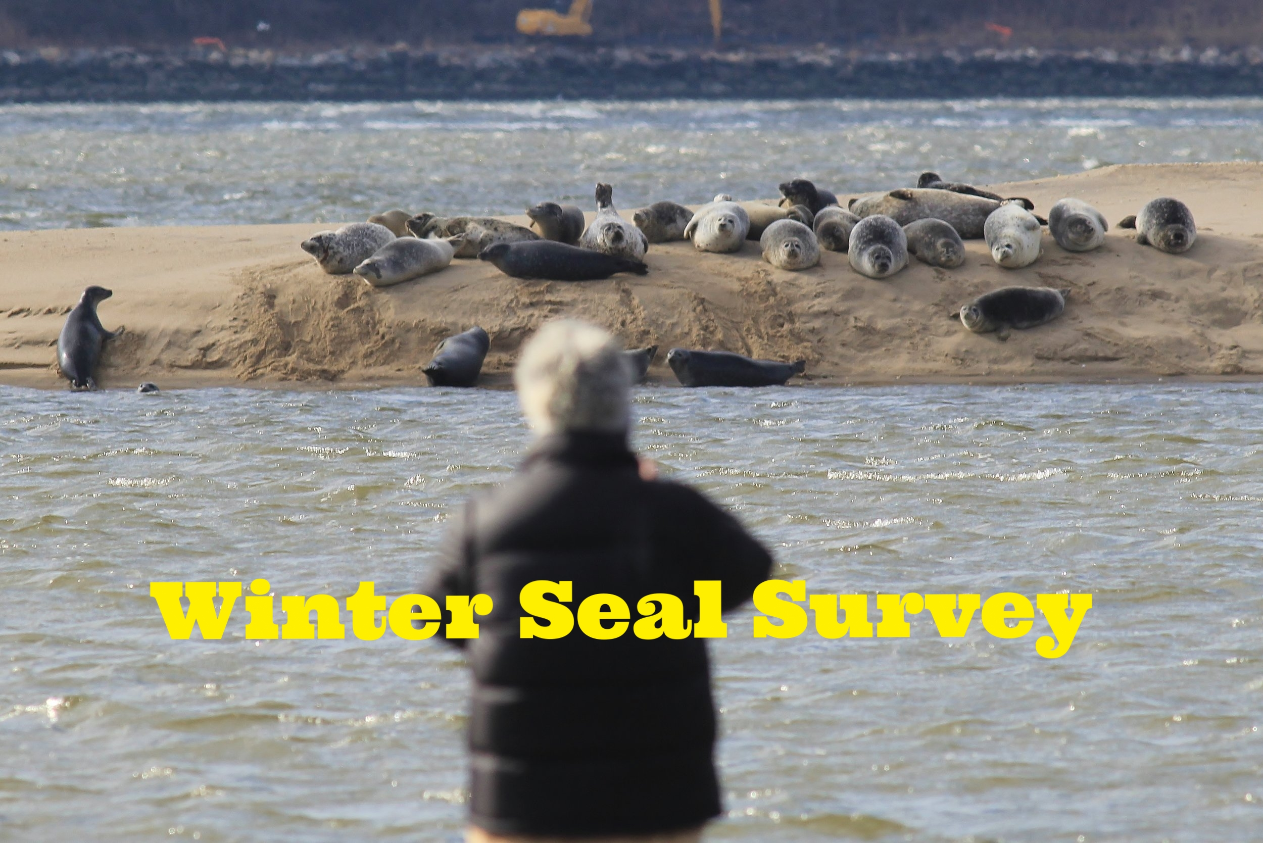 Counting Harbor seals along the coast in New Jersey during the winter.