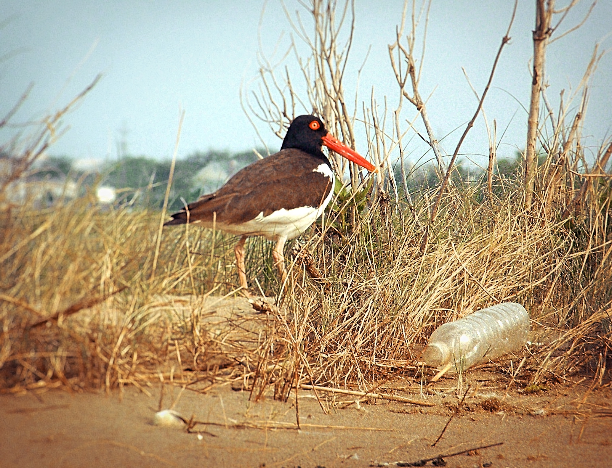 Plastics seem to be everywhere in our coastal environment to cause stress and strain to wildlife, such as to this American Oystercatcher, to find safe places to raise young.