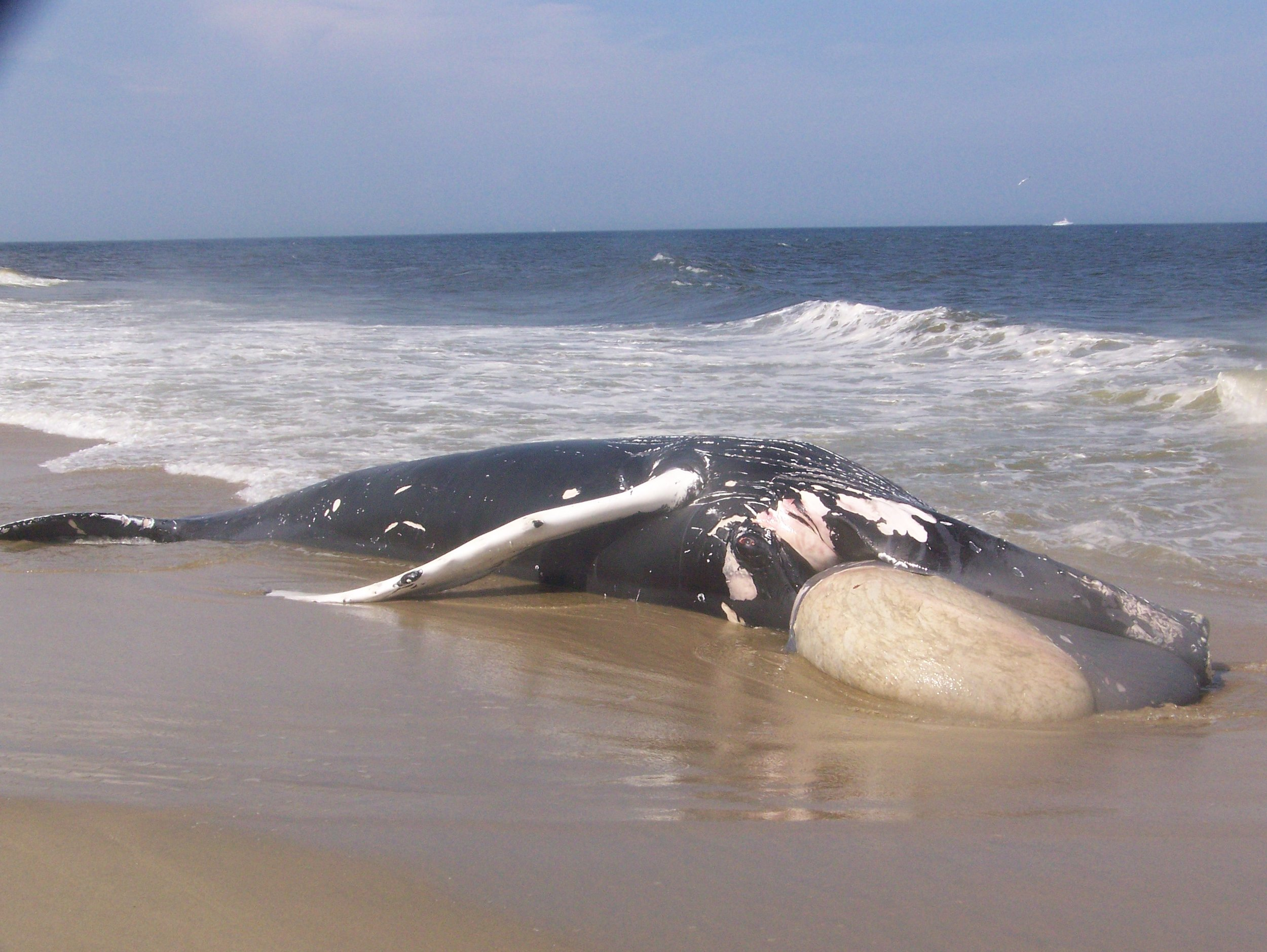 """A juvenile humpback whale that died of """"blunt force"""" trauma from a vessel collision near Sea Bright, NJ. The strike was so powerful that the whale's stomach was thrust out of its mouth."""