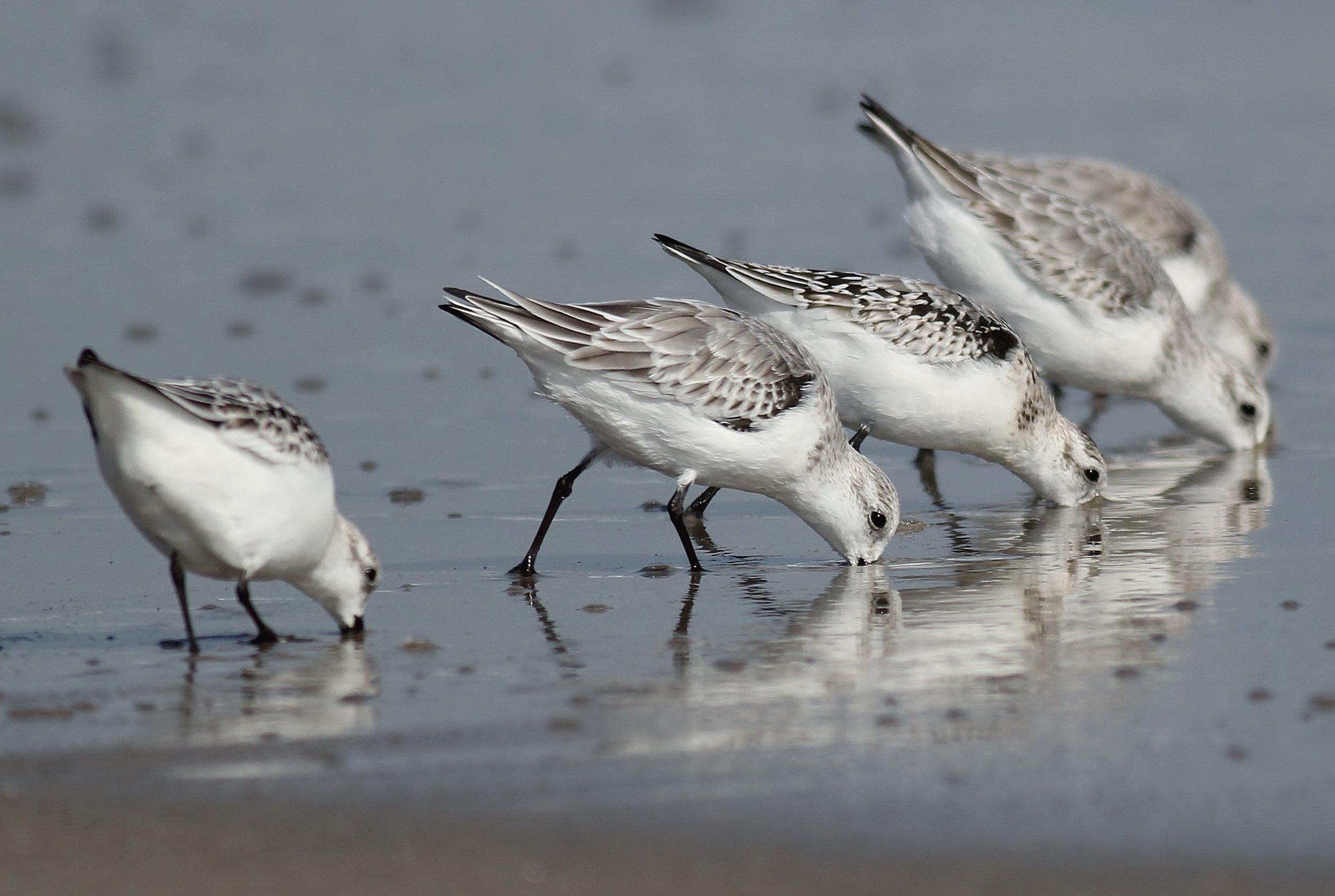 Sanderlings in winter plumage foraging for food along the Atlantic Ocean at Sandy Hook, NJ.