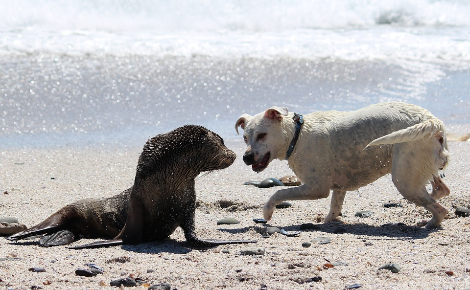 Wild animals and domesticated animals often do not mix well. Please make sure to keep your pet dog(s) away from wild animals on the beach!