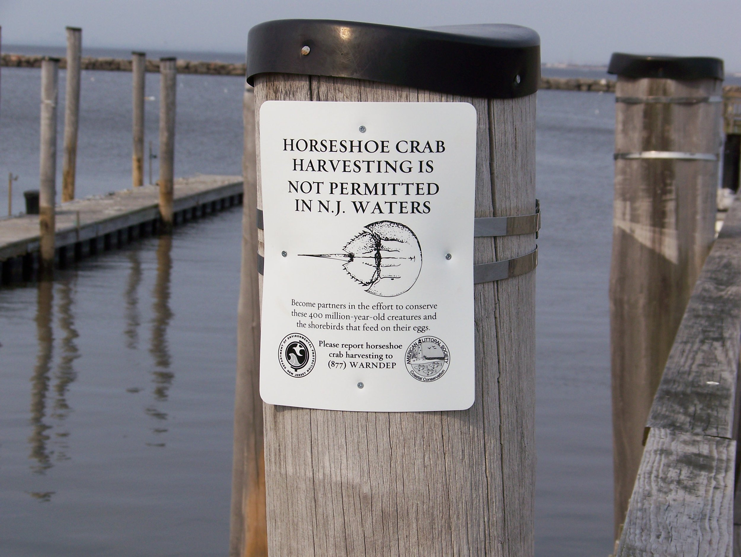 While New Jersey has a total ban on harvesting horseshoe crabs in all state estuarine waters, New York State does not even limit the harvest of horseshoe crabs during their brief mating season in May and June.