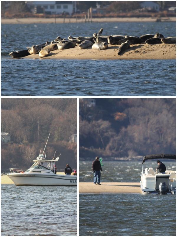 People in boats trying to get a close up look at harbor seals resting on a sandbar in Sandy Hook Bay, NJ by mistake scare away these shy and cautious marine mammals.