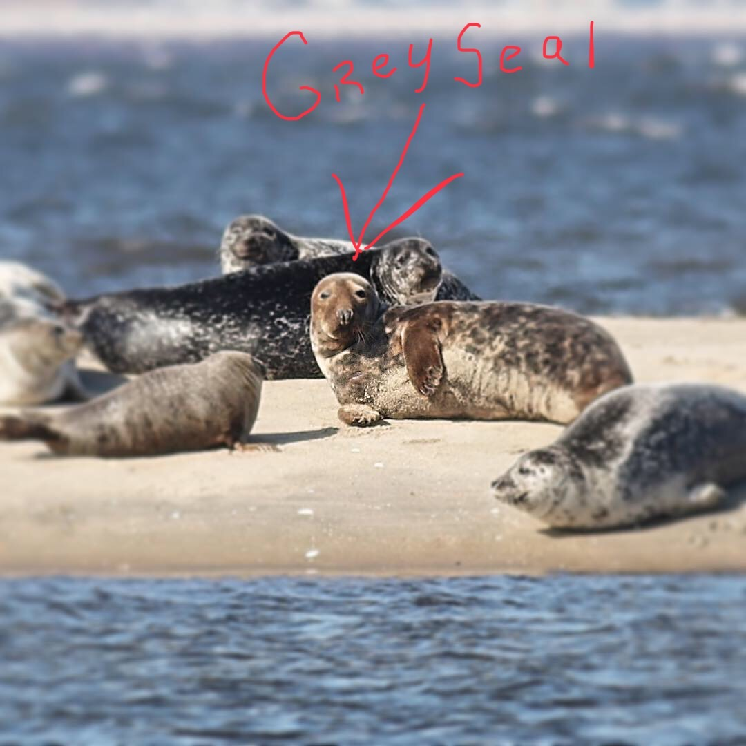 Grey seal spotted among harbor seals in Sandy Hook Bay on February 16, 2019