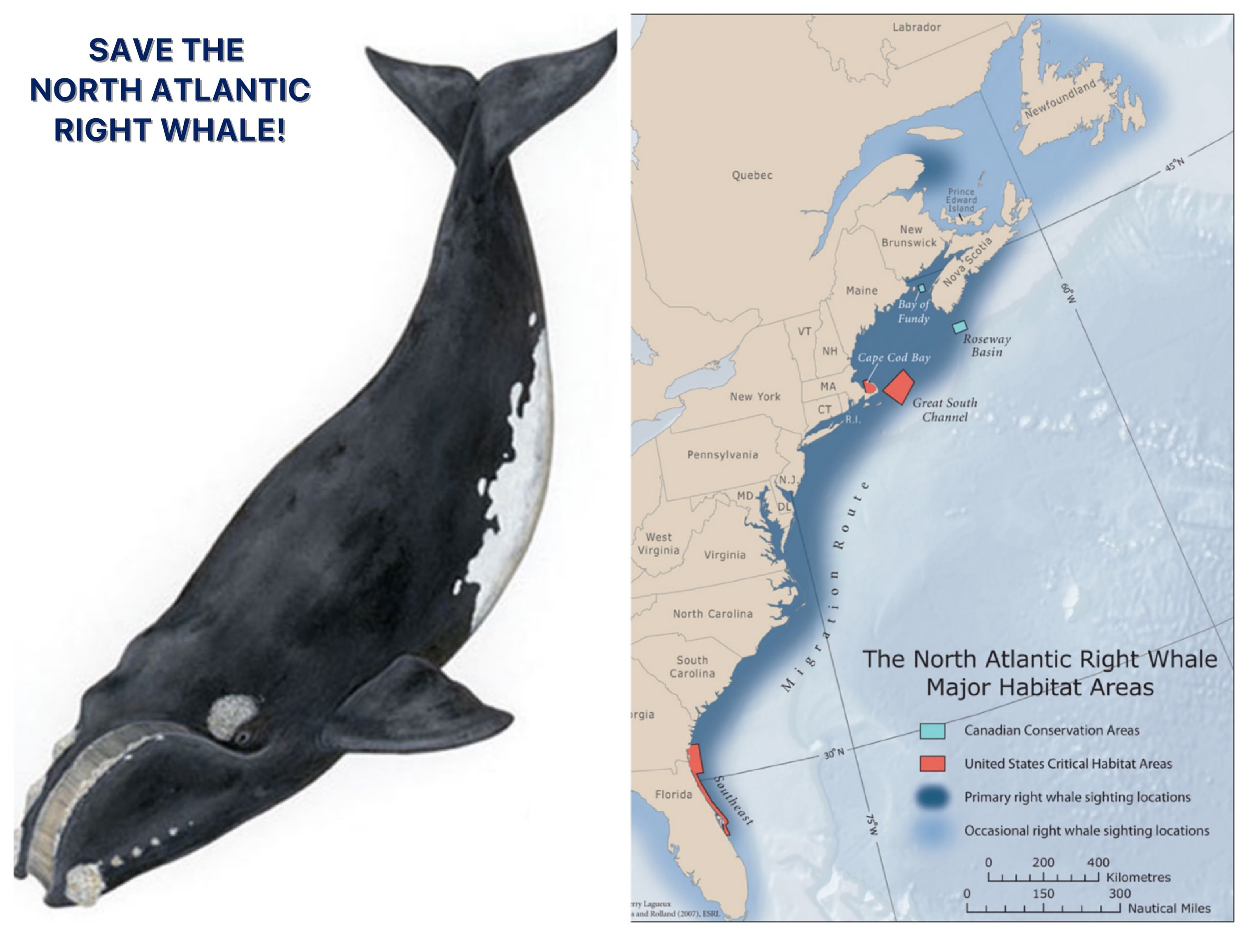 The North Atlantic right whale ( Eubalaena glacialis)  is one of the world's most endangered large whale species, with only around 450 remaining on the planet.  According to NOAA , along with  entanglement in fishing lines , vessel strikes are a major threat to North Atlantic right whales. A right whale's habitat and migration routes are close to major ports along the Atlantic seaboard and often overlap with shipping lanes, making the whales vulnerable to collisions with ships. In addition, underwater noise pollution interrupts the normal behavior of right whales and interferes with their communication.
