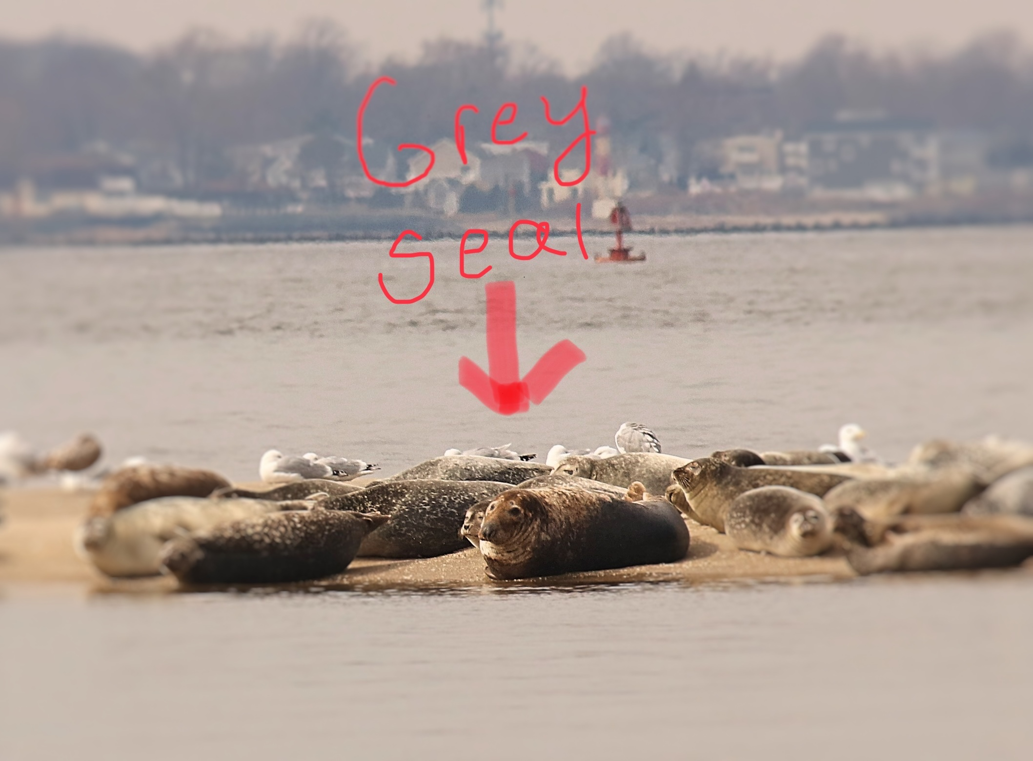 Grey seal spotted among harbor seals in Sandy Hook Bay on March 3, 2019