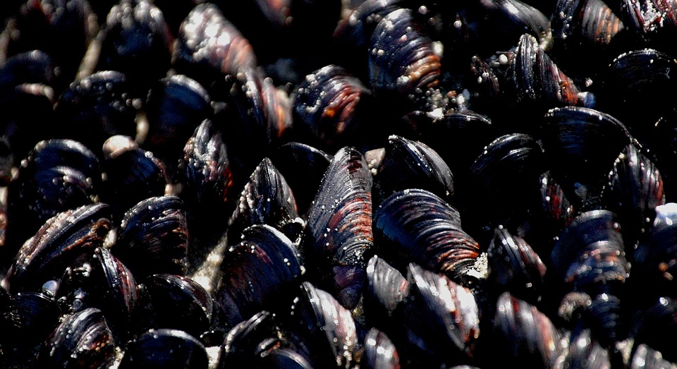 A cluster of Blue Mussels