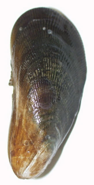 Atlantic_ribbed_mussel.jpg