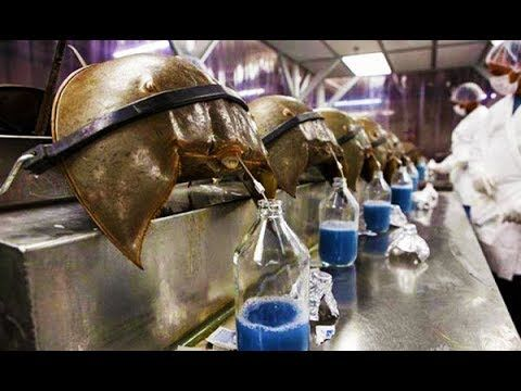 Horseshoe crabs being bled for the bio-medical industry. About a coffee-cup amount of blood is taken from each crab to fill a liter.