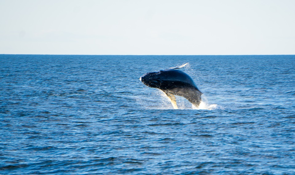 WHALES ALONG JERSEY SHORE