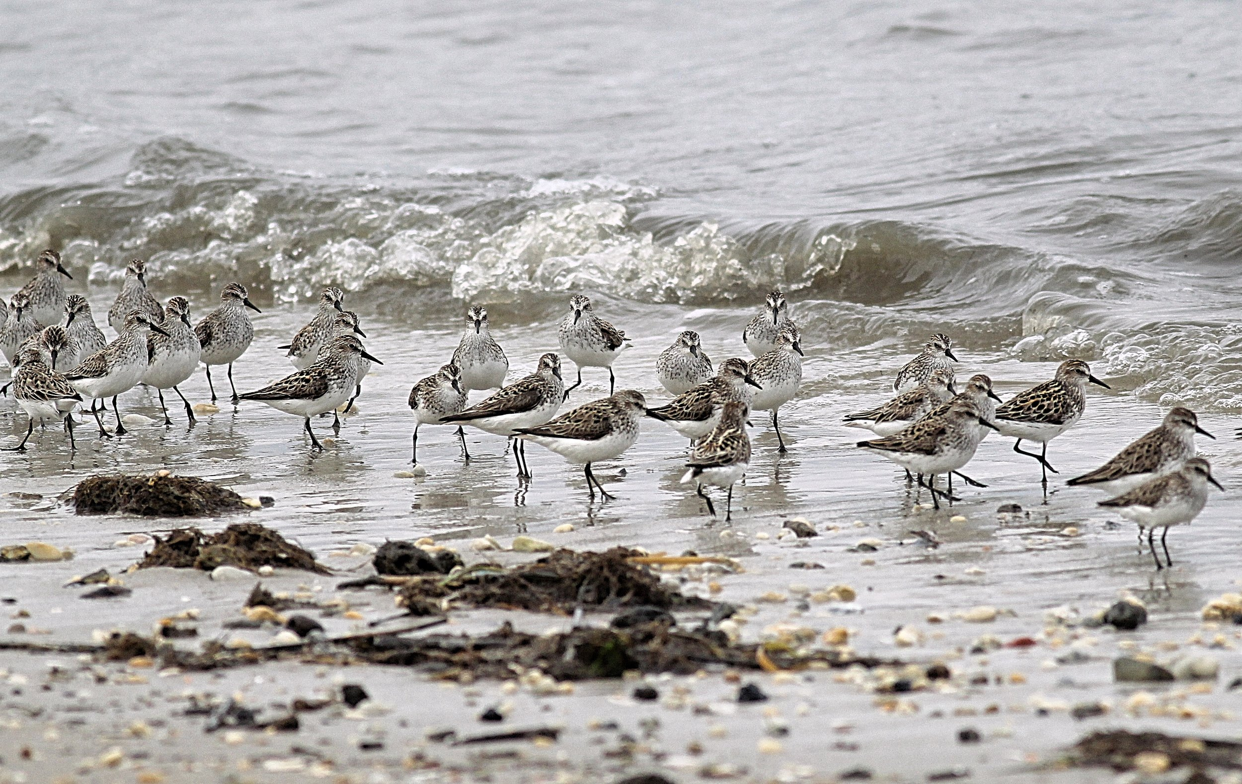 Migrating Semipalmated Sandpipers in Delaware Bay, NJ