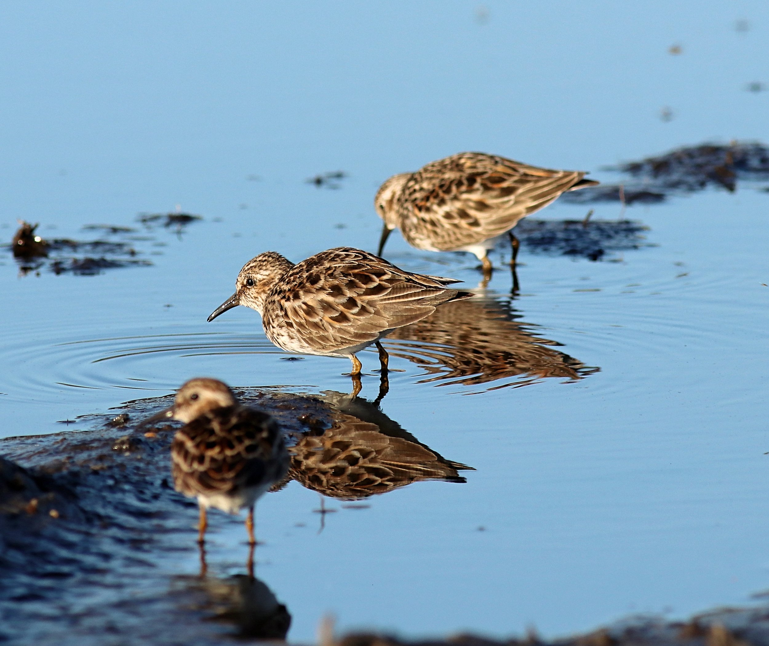 A small flock of Least Sandpipers at Sandy Hook, NJ