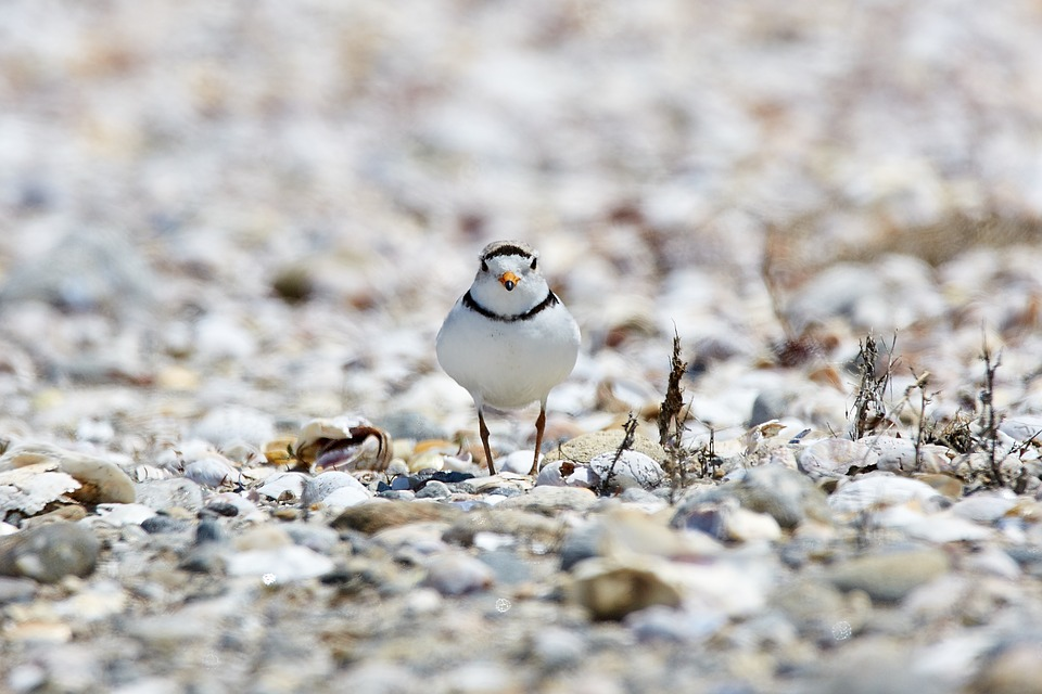Piping Plovers at Sandy Hook, NJ