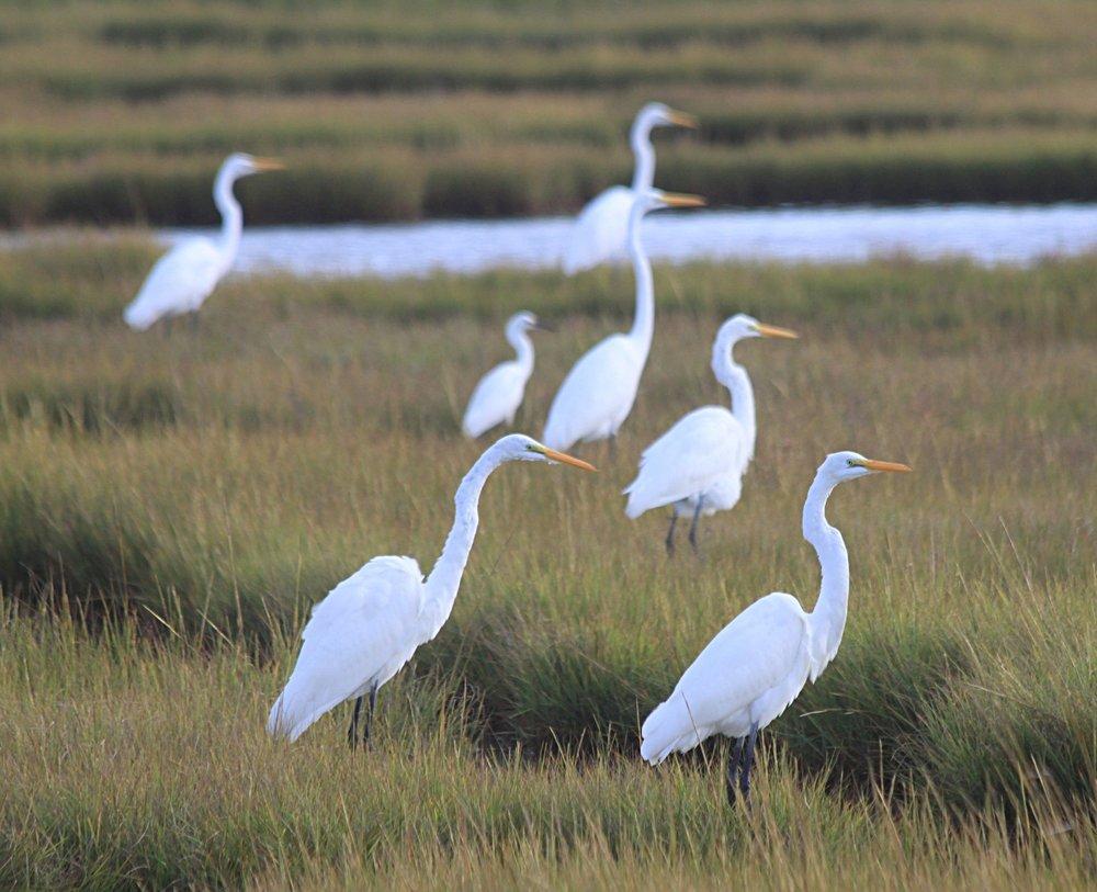 Great Egrets & Snowy Egret