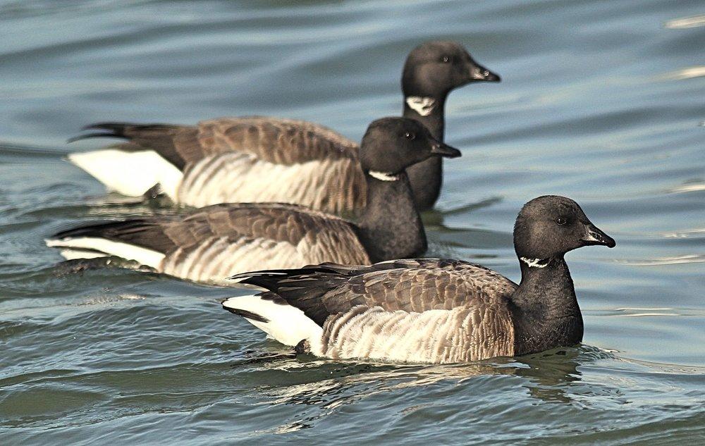 Brant sea goose