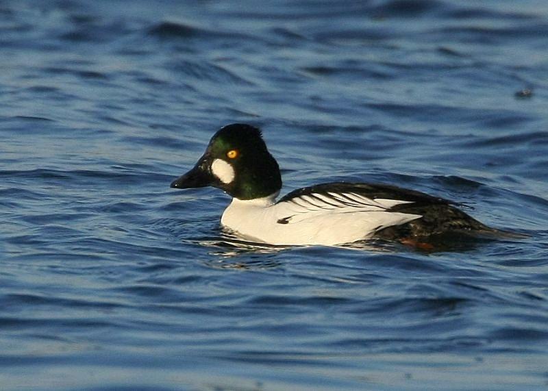 Common Goldeneye duck