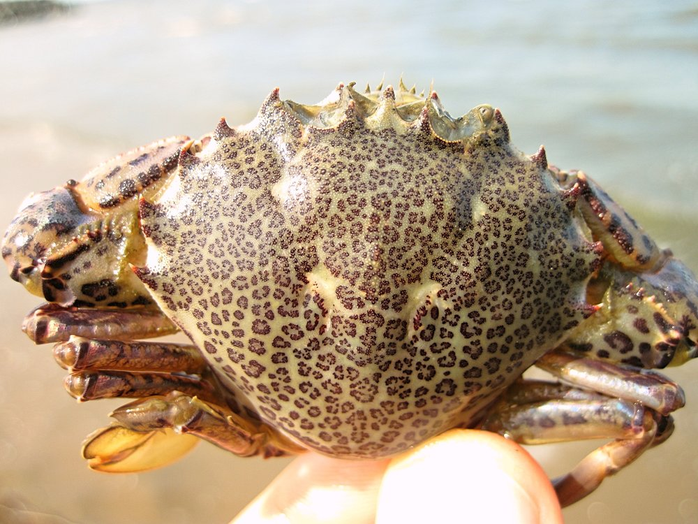 Lady or Calico Crab