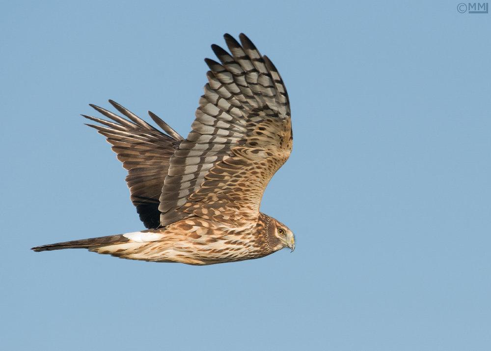 Northern Harrier or Marsh Hawk