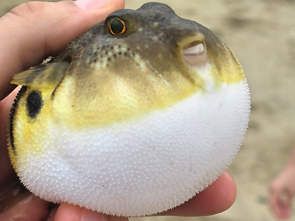 Northern Puffer or Blowfish