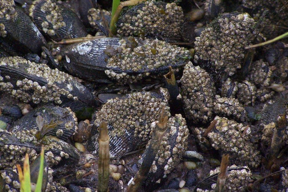 Atlantic Ribbed Mussel
