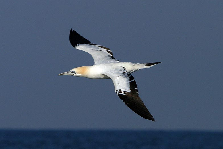 Northern gannet