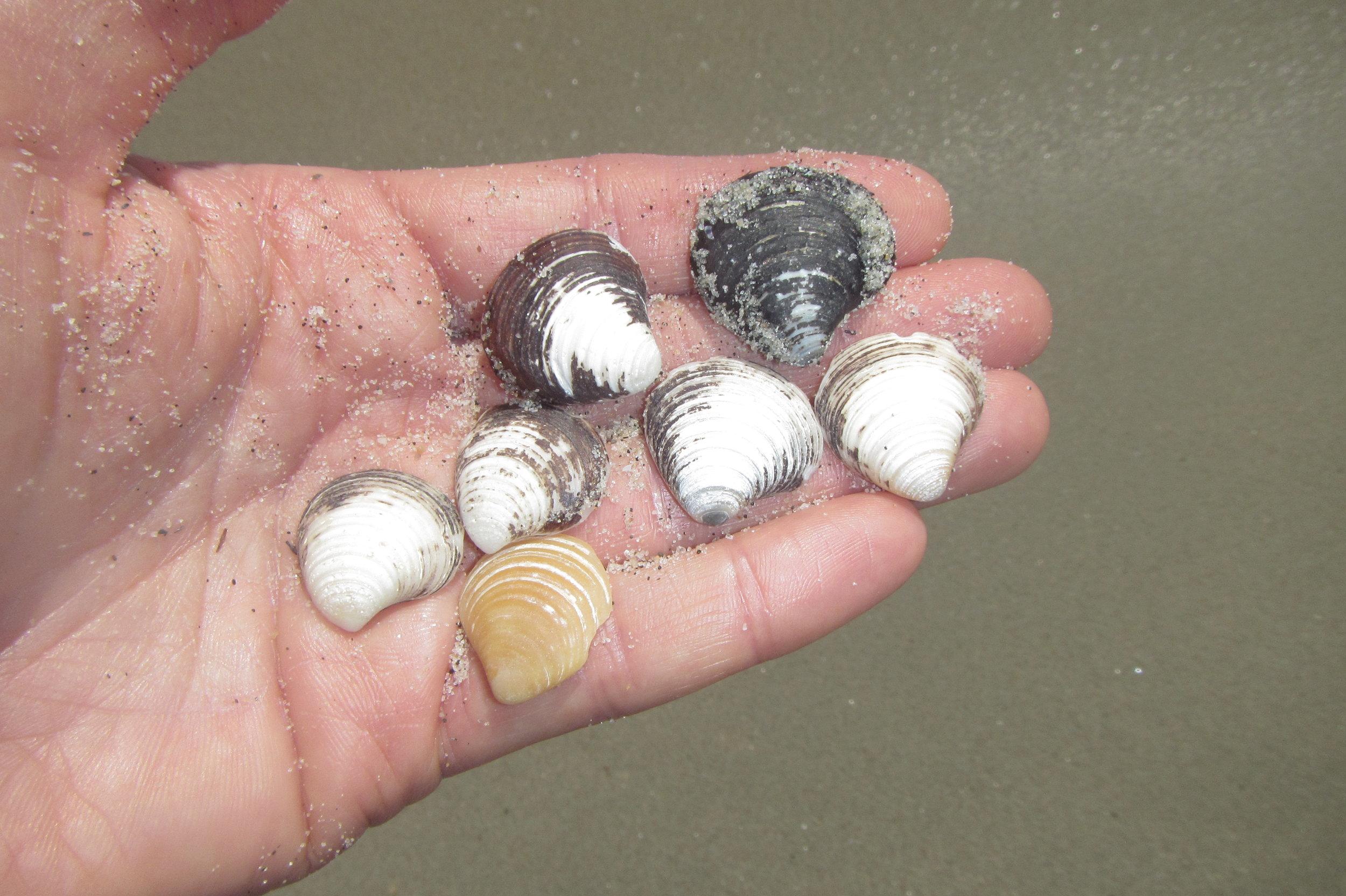 Chestnut astarte clam