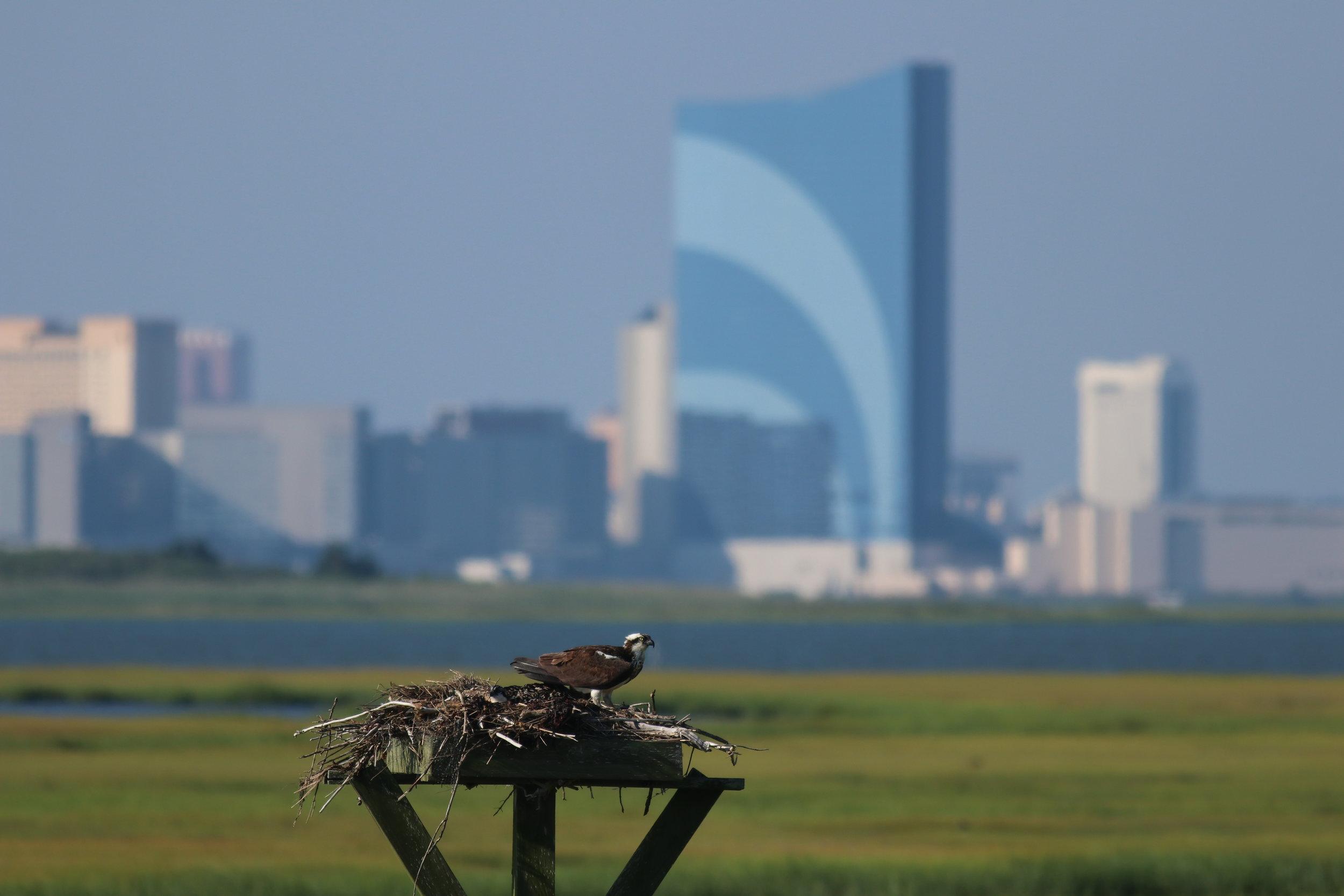 Osprey or Fish Hawk