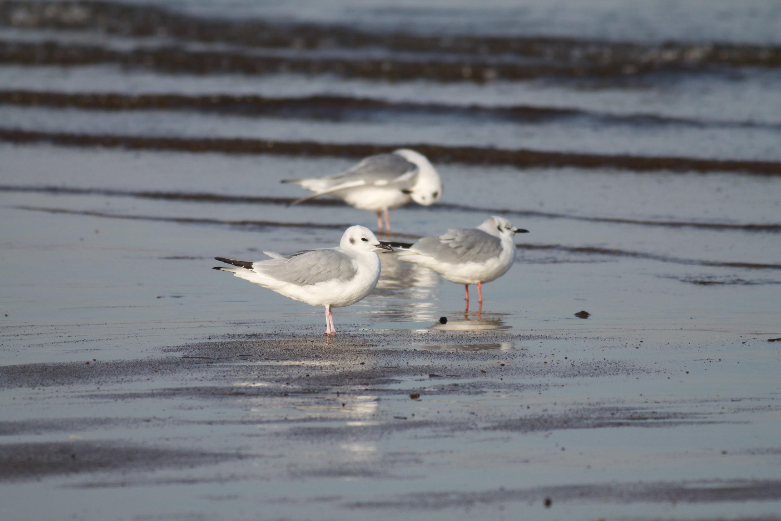 Bonaparte's gull (non-breeding plumage)