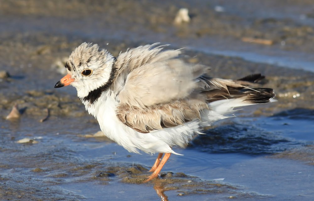 An adult Piping plover after taking a bathe in a shallow pool of water at Sandy Hook, NJ.