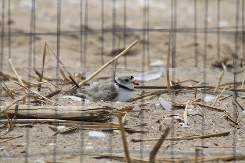 Wire cages are often put on top of of active piping plover nests by wildlife biologists to help protect birds and eggs from predators. The plovers are small enough so they can get in and out of a cage to forage.