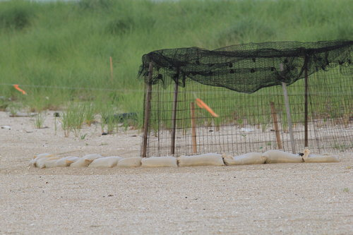 Sand bags are put around this wire cage at Sandy Hook, NJ to protect the plover nest from tidal and storm flooding.