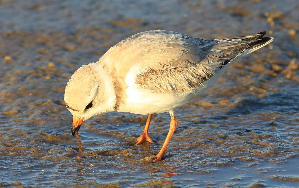 An adult Piping plover foraging for aquatic worms during low tide along the Jersey Shore.