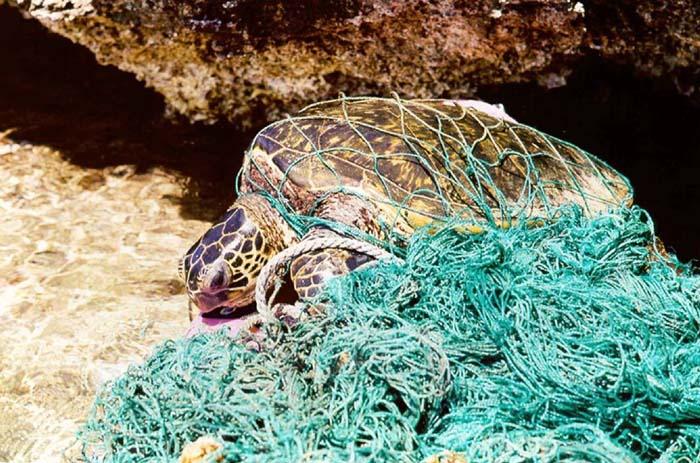 Turtle_entangled_in_marine_debris_(ghost_net).jpg