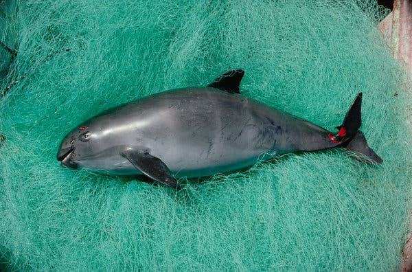Will Mexico Save Its Vanishing Vaquita? - The New York Times 2019