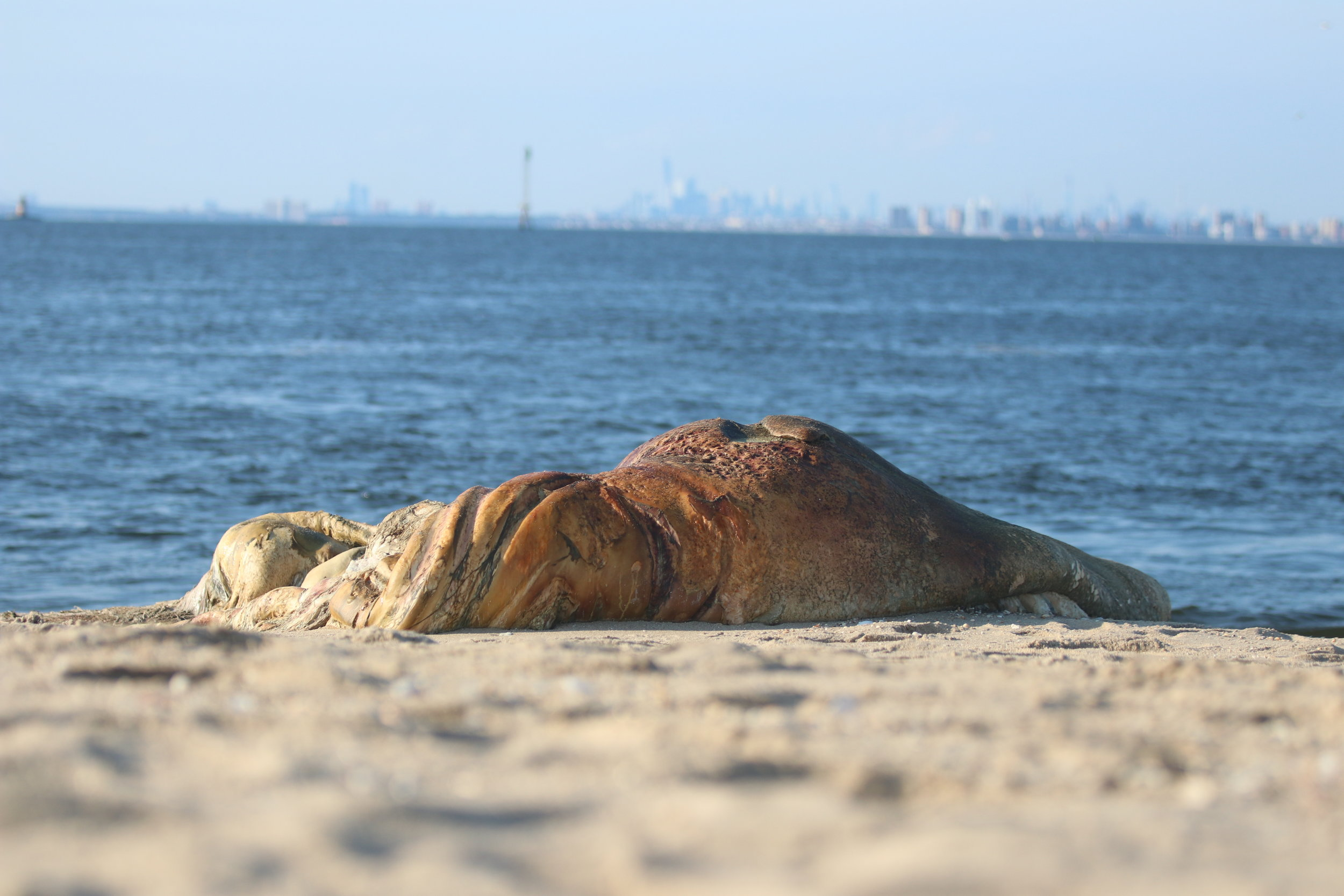The remans of a juvenile humpback whale found on a beach at the entrance to New York Harbor in August 2019. The young whale likely collided with a cargo ship near the entrance to the harbor.