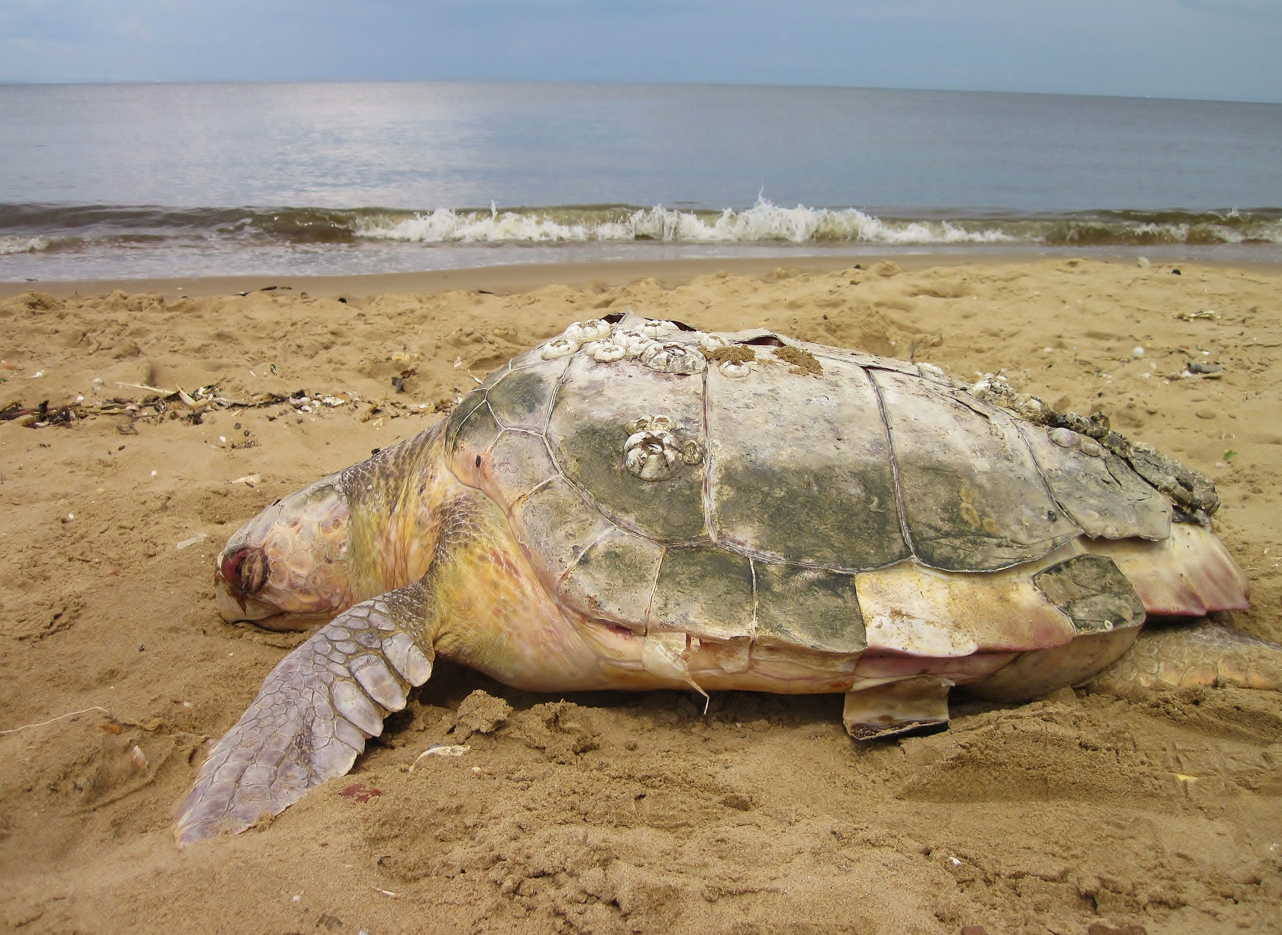 Save Sea Turtles Along the Jersey Shore! -