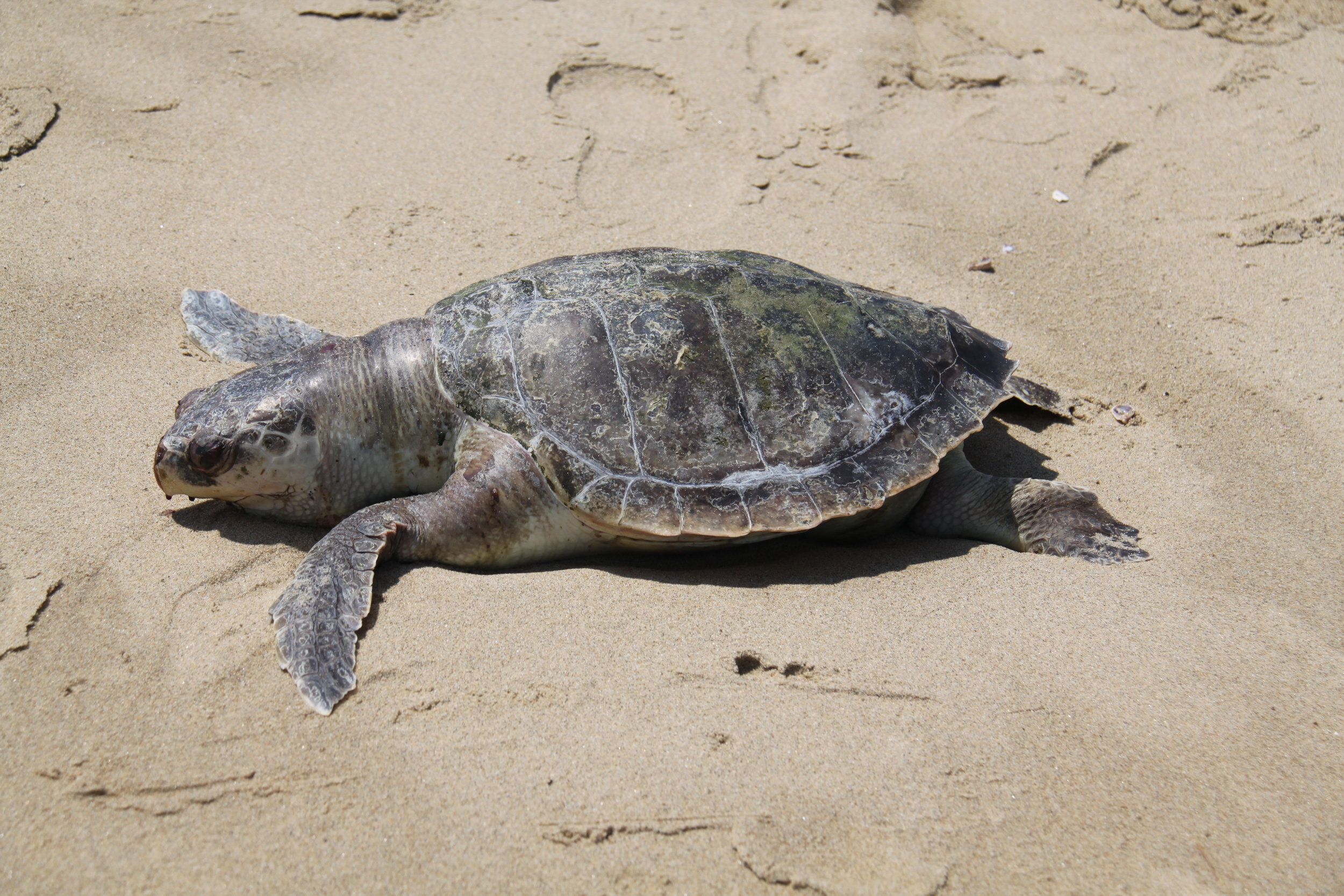 A Kemps Ridley Sea Turtle found dead in Port Monmouth, NJ in 2010. Kemp's ridley sea turtles, also called the Atlantic ridley sea turtle, is the rarest species of sea turtle and is critically endangered.