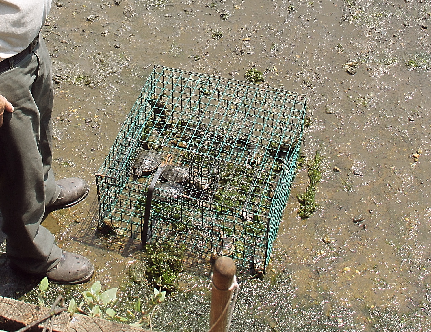 Several male diamondback terrapins found dead in a blue claw crab trap in the Navesink River, 2010.