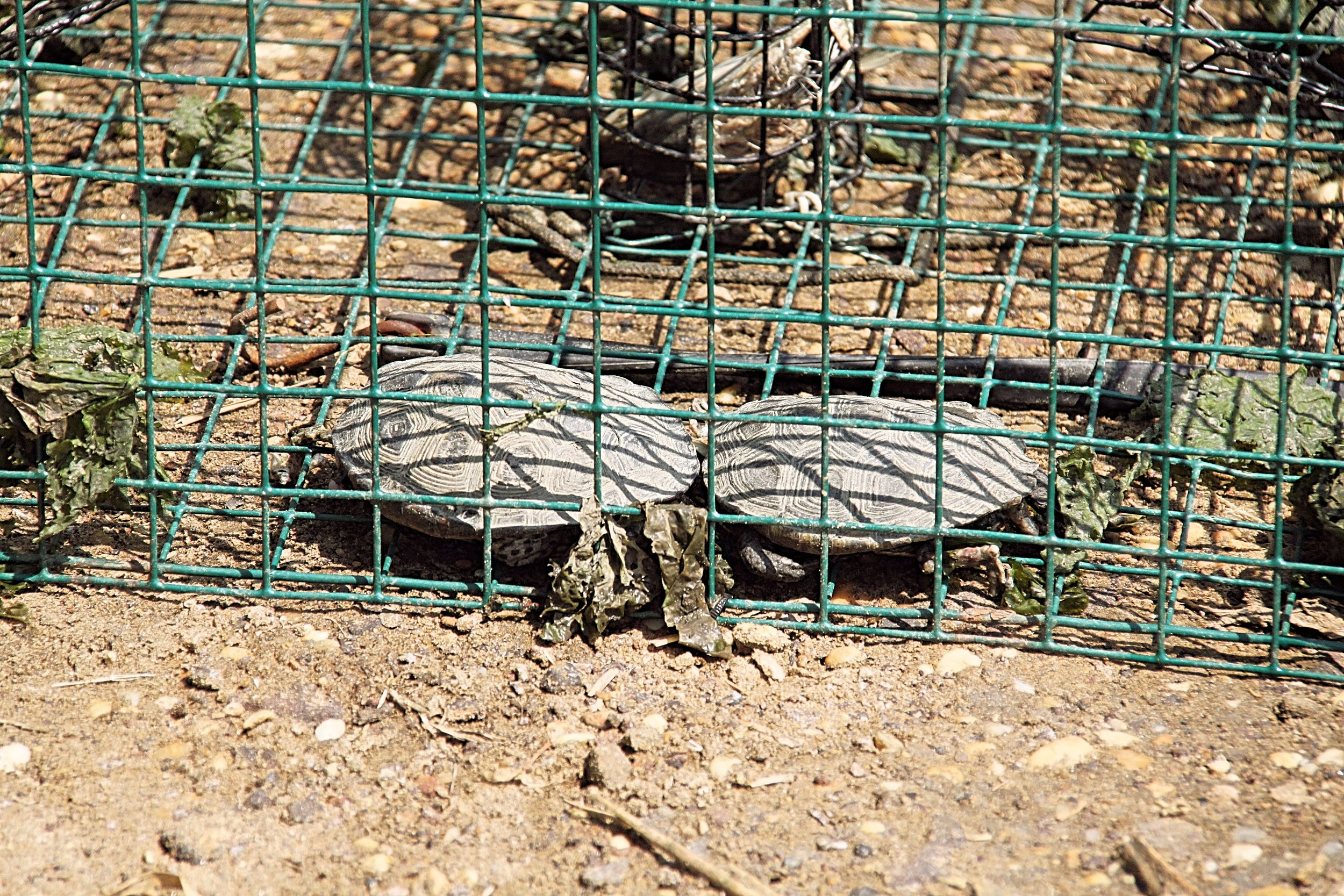 Two dead male diamondback terrapin turtles found in a crab trap by a NJ Conservation Officer, July 2010 in the Navesink River, Middletown Township, NJ.