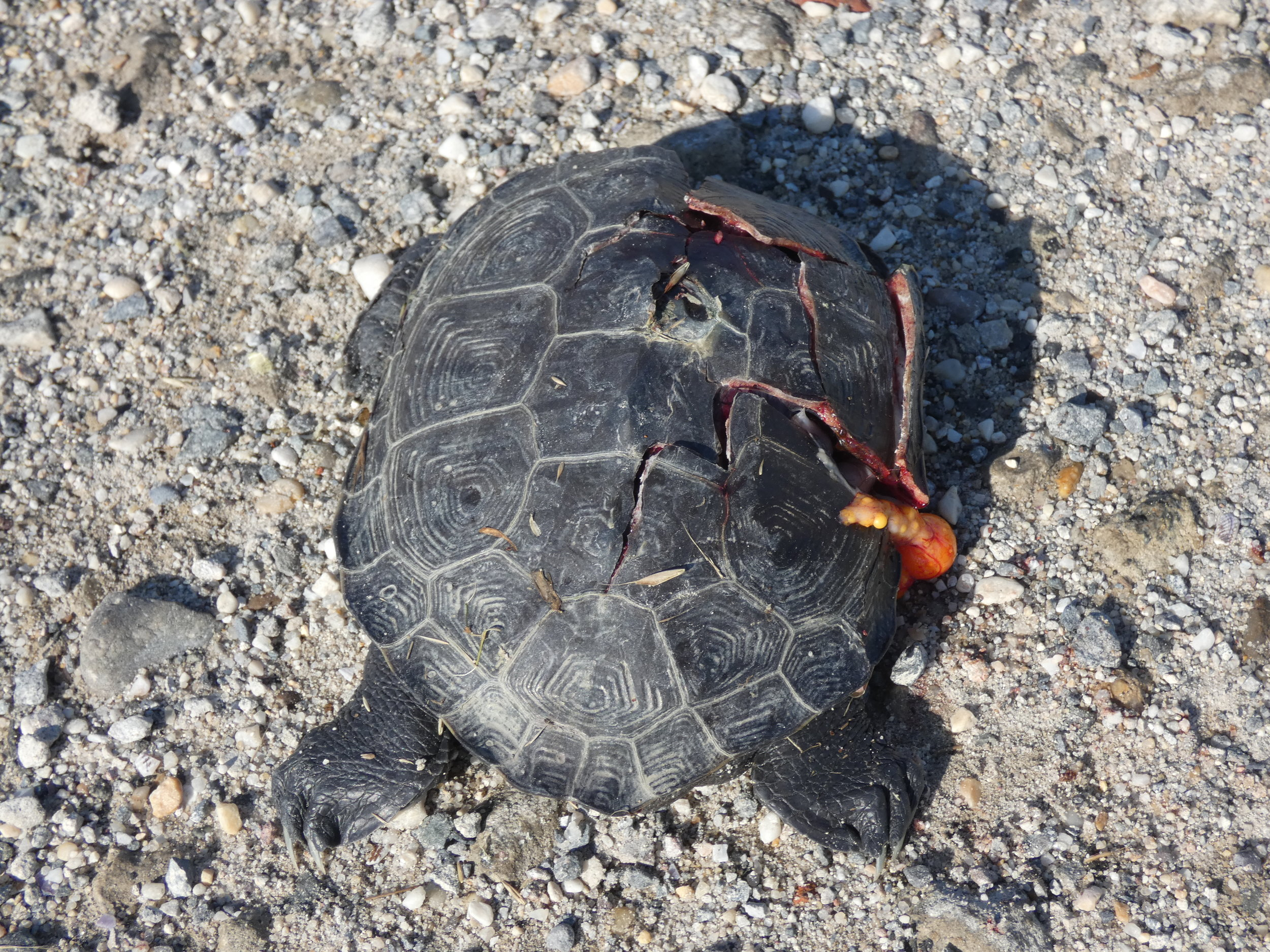 A dead Diamondback terrapin turtle left on the side of the road.